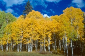 Aspen Color Change